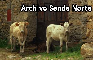 Vacas00498