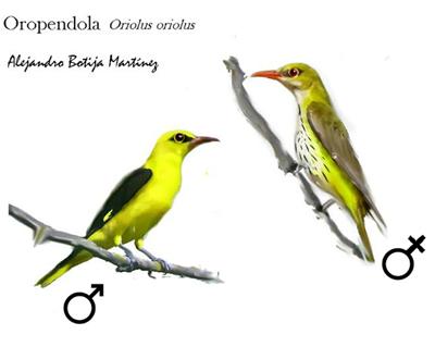 OROPENDOLA Macho y Hembra
