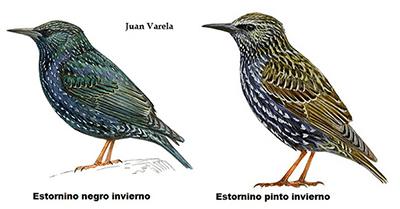 DibujoEstorninos251