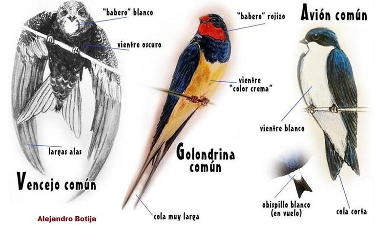 Golondrinas267